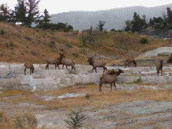 Elk at a mineral deposit in Yellowstone National Park